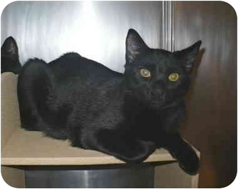 Domestic Shorthair Cat for adoption in Colmar, Pennsylvania - Pacman