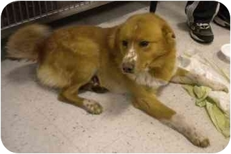 Golden Retriever/Australian Cattle Dog Mix Dog for adoption in Broomfield, Colorado - Rusty