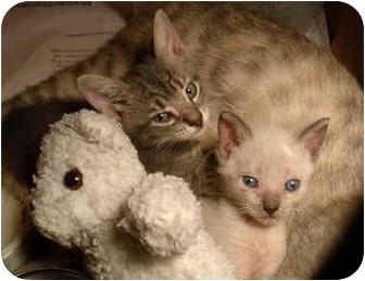 American Shorthair Kitten for adoption in Brooklyn, New York - Wallace
