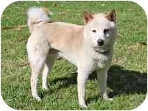 Shiba Inu Dog for adoption in Encino, California - Kuma