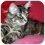 Photo 3 - Domestic Longhair Kitten for adoption in Byron Center, Michigan - Leia
