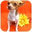 Photo 2 - Rat Terrier/Chihuahua Mix Dog for adoption in Irvine, California - Bree - 5 lbs