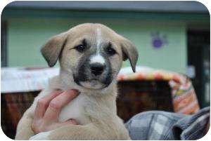 Labrador Retriever/Border Collie Mix Puppy for adoption in Stafford Springs, Connecticut - Alisa