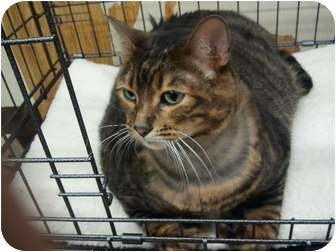 Bengal Cat for adoption in Little Falls, New Jersey - KaMer (TAH)