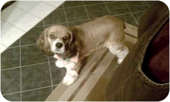 Cocker Spaniel Mix Dog for adoption in Mentor, Ohio - Zoey 5yr Adopted