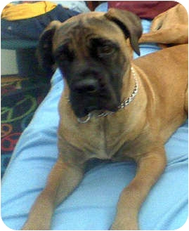Boxer/Mastiff Mix Dog for adoption in Sacramento, California - DUDLEE big  boy