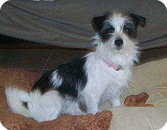 Terrier (Unknown Type, Small) Mix Dog for adoption in Studio City, California - Panda