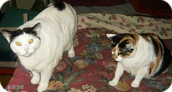 Domestic Shorthair Cat for adoption in Harriman, New York - Muggie