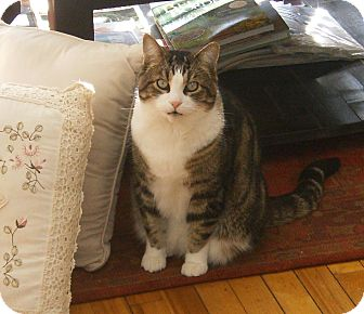 Domestic Shorthair Cat for adoption in Huntsville, Ontario - Oscar - Dog-like Cat!