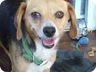 Beagle Mix Dog for adoption in San Diego, California - Sally
