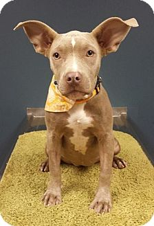 Terrier (Unknown Type, Medium) Mix Dog for adoption in Houston, Texas - Opal