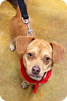 Dachshund/Chihuahua Mix Dog for adoption in Waldorf, Maryland - Pugsley