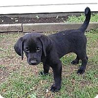 Adopt A Pet :: Rosey - Minneapolis, MN