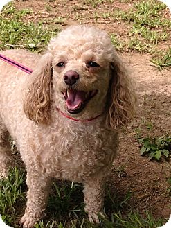 Poodle (Miniature) Dog for adoption in Baton Rouge, Louisiana - Kenzey