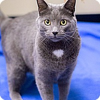 Adopt A Pet :: Earl Grey - Chicago, IL