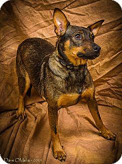 Miniature Pinscher/Blue Heeler Mix Dog for adoption in Anna, Illinois - SUGAR