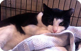 American Shorthair Kitten for adoption in Beverly, Massachusetts - BATMAN