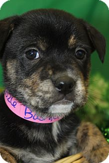 Shepherd (Unknown Type) Mix Puppy for adoption in Waldorf, Maryland - Bashful