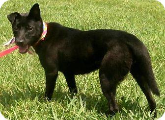 Schipperke Mix Puppy for adoption in Decatur, Georgia - Demi Pup