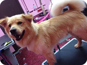 Golden Retriever/Husky Mix Dog for adoption in Moosup, Connecticut - LEO