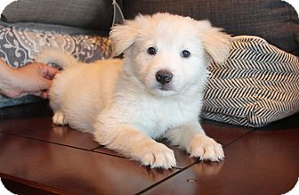 Shepherd (Unknown Type)/Samoyed Mix Puppy for adoption in Los Angeles, California - Bart