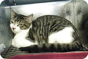 Domestic Shorthair Cat for adoption in Henderson, North Carolina - Vick*