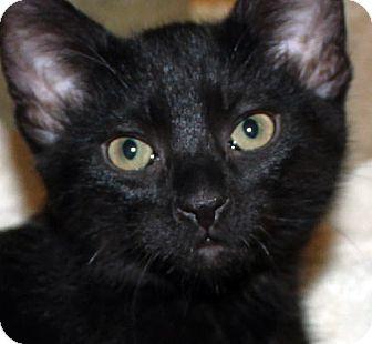 Domestic Shorthair Kitten for adoption in Irvine, California - Brando