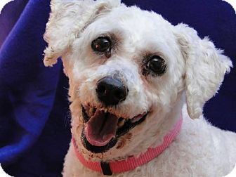 Poodle (Miniature)/Bichon Frise Mix Dog for adoption in Carneys Point, New Jersey - Barbette