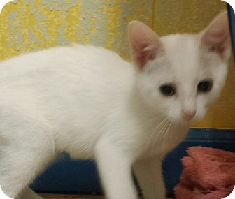 Domestic Shorthair Kitten for adoption in Holden, Missouri - Cocunut Flake