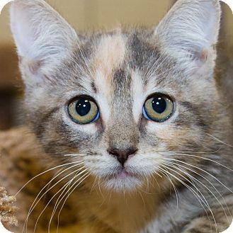 Domestic Shorthair Kitten for adoption in Irvine, California - Jaelyn