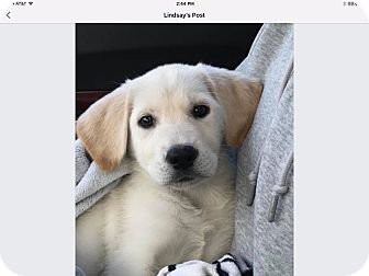 Labrador Retriever Mix Puppy for adoption in Sagaponack, New York - Taylor
