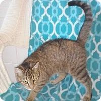 Domestic Shorthair Cat for adoption in Columbia, Kentucky - Kit Kat