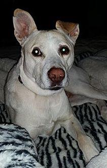 Carolina Dog/Labrador Retriever Mix Dog for adoption in Normandy, Tennessee - Phoebe
