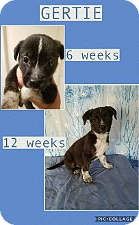 Border Collie Mix Puppy for adoption in East Hartford, Connecticut - Gertie-pending adoption