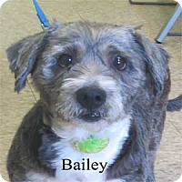 Adopt A Pet :: Bailey - Warren, PA