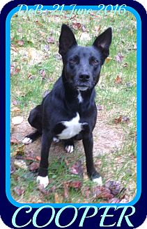 Collie/German Shepherd Dog Mix Dog for adoption in Jersey City, New Jersey - COOPER