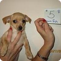 Adopt A Pet :: Clownfish - Shawnee Mission, KS