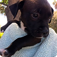 Adopt A Pet :: Sugar Plum Angel Puppy - Corona, CA