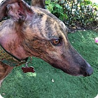 Greyhound Dog for adoption in North Port, Florida - Blutoo Dustoff