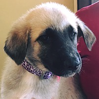 Adopt A Pet :: Jasmine - Nashua, NH