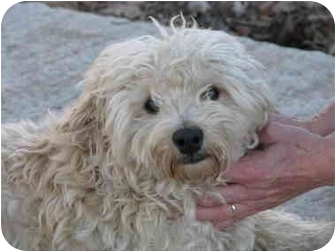 Poodle (Miniature)/Westie, West Highland White Terrier Mix Dog for adoption in Drumright, Oklahoma - Oscar