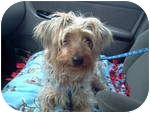 Silky Terrier Mix Dog for adoption in Plainfield, Illinois - Newton