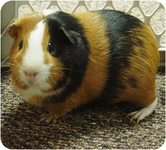 Guinea Pig for adoption in Edinburg, Pennsylvania - Emily