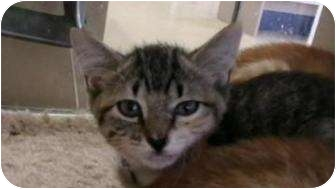 Domestic Shorthair Cat for adoption in Galveston, Texas - Mindy
