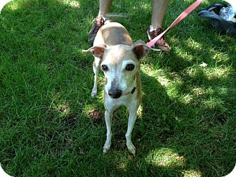 Italian Greyhound Mix Dog for adoption in Worcester, Massachusetts - Tia