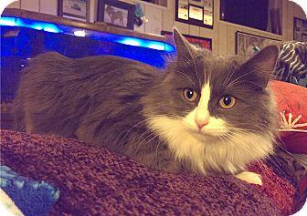 Domestic Mediumhair Cat for adoption in O'Fallon, Missouri - Quartz