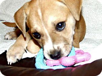 Labrador Retriever Mix Puppy for adoption in waterbury, Connecticut - Stevie Nicks