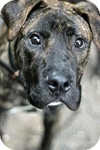 Mastiff/Plott Hound Mix Dog for adoption in Tinton Falls, New Jersey - Tristan