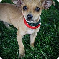 Adopt A Pet :: 'Nilla Cola - Broomfield, CO