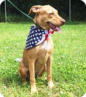 Labrador Retriever/Terrier (Unknown Type, Medium) Mix Puppy for adoption in Port St. Joe, Florida - Cecilia